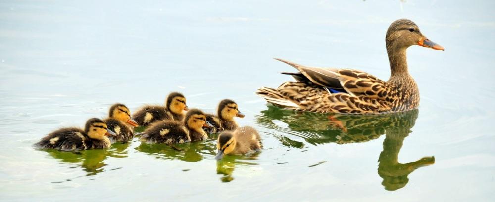 mallard-ducks-934518.jpg